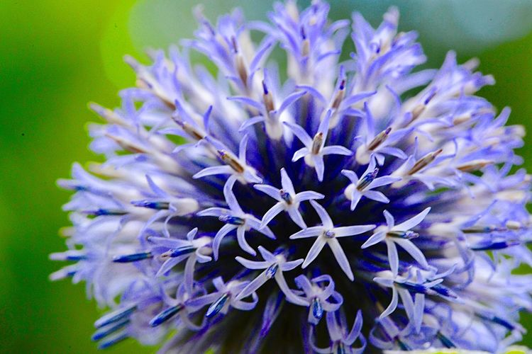 Southern Globethistle Echinops Ritro Botany Outdoors Plant Part Flower Flowering Plant Beauty In Nature Plant Purple Vulnerability  Fragility Flower Head Inflorescence Growth Freshness Petal No People Blue Close-up Focus On Foreground Day Nature