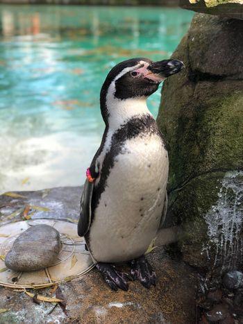 Penguin ❤️ #penguin Animal Wildlife Animal Themes Animals In The Wild Animal Water EyeEmNewHere Water Bird Outdoors First Eyeem Photo