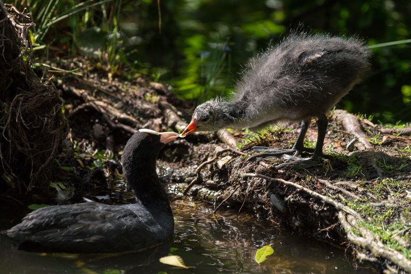 Close-up of coot feeding chick at lakeshore