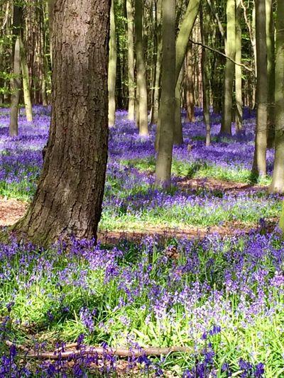 Bluebells Nature