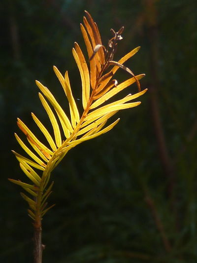 Deciduous Cypress,Common Cypress,Swamp Cypress,Southern Cypress,Bald Cypress,Gulf Cypress,Swamp Cypress,Black Cypress Common Cypress Southern Cypress Swamp Cypress Beauty In Nature Close-up Day Deciduous Cypress Flower Fragility Freshness Growth Nature No People Outdoors Plant