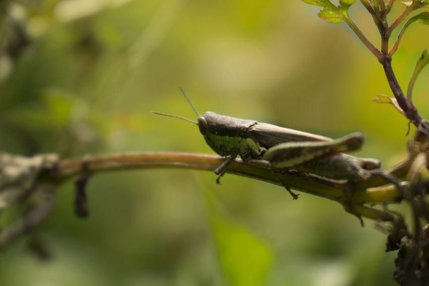 Animal Themes Animal Wildlife Animals In The Wild Close-up Day Grasshopper Green Color Nature No People One Animal Outdoors Plant