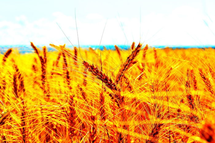 Nature Cereal Plant Agriculture Growth Plant No People Backgrounds Close-up Day Rural Scene Beauty In Nature Sky Wheat Flower Outdoors Freshness