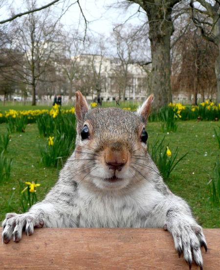 Close-up portrait of squirrel at st james park