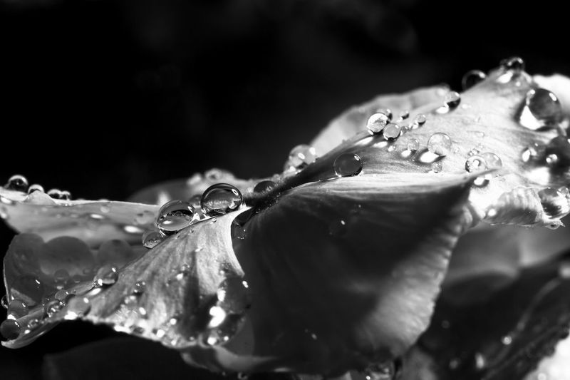 it's not just water drops it's like tears falling from my sad eyes dropping on this beautiful flower B&W Collection Macro Photography Macro Water Drops Water Drops B&w Macro Macro_flower Rose - Flower Roses Tears Water Waterdrops