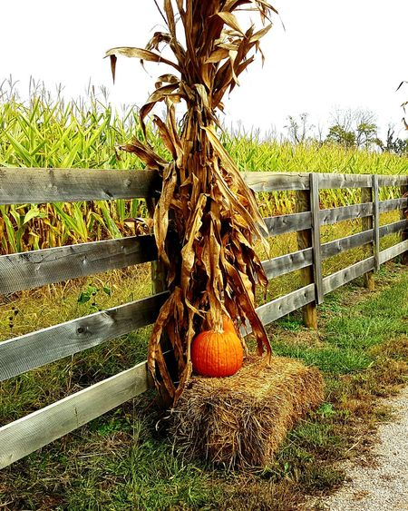 Agriculture Road Sky Nature Outdoors Rural Scene Beauty In Nature Farm Fall Fodder Pumpkin Galaxy Note5 Fence Phone Photography