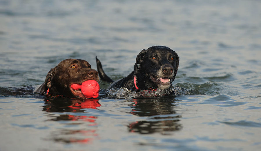 Labrador Retriever dogs Action Action Shot  Animal Themes Black Labrador Chocolate Lab Close-up Day Dog Domestic Animals Lab Labrador Retriever Landscape Mammal Nature No People Outdoors Pets Portrait Retriever Swimming Two Dogs Water Waterfront