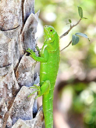 Ascension d'un gros lézard ... Exotic Wildlife Climbing Trees Green Lizard Animal Wildlife Animal Themes Animals In The Wild Animal One Animal Green Color No People Close-up Nature Focus On Foreground Reptile Lizard