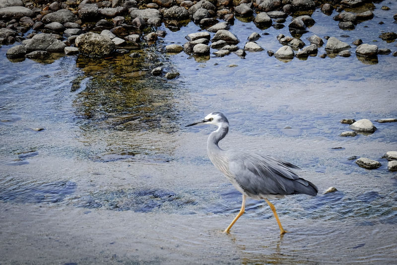 High angle view of gray heron on water