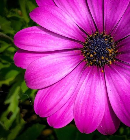 Macro View Flower Petal Fragility Nature Flower Head Beauty In Nature Freshness Pink Color No People Pollen Growth Day Close-up Blooming Outdoors Plant Osteospermum
