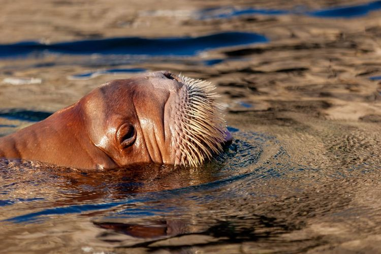 Walrus Walrus EyeEm Selects Animal Themes Animals In The Wild Animal Animal Wildlife Water One Animal Nature Mammal Sea Animal Body Part Day No People Close-up Animal Head  Sunlight Vertebrate