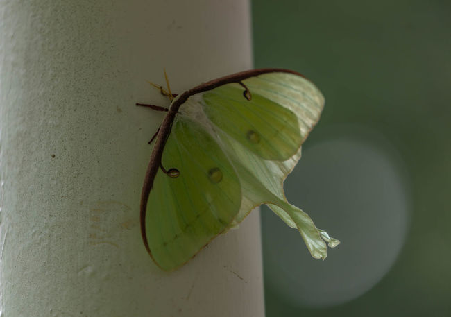 Green Luna Moth Animal Animal Themes Animal Wildlife Animals In The Wild Beauty In Nature Close-up Day Green Color Growth Insect Invertebrate Leaf Nature No People One Animal Outdoors Plant Plant Part Selective Focus Wall - Building Feature