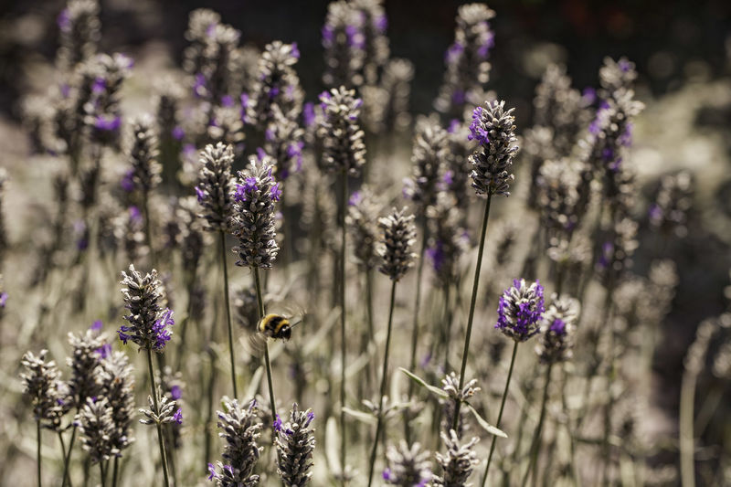Animal Themes Animals In The Wild Beauty In Nature Bee Buzzing Close-up Day Flower Flower Head Fragility Freshness Growth Insect Lavender Nature No People One Animal Outdoors Plant Pollination Purple