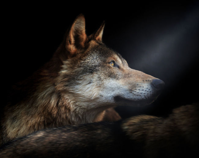 Close-up of a wolves