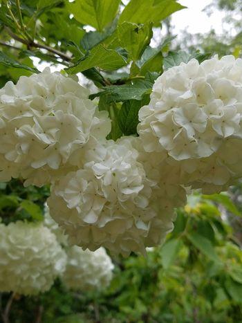 Plant Snowballs