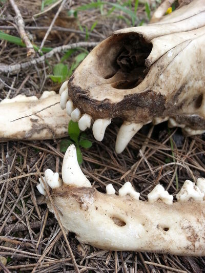 Abandoned Animal Bone Animal Skeleton Animal Skull Animal Themes Bone  Close-up Day Death Dog Bone Dog Skull Grass Nature No People Outdoors Skull Teeth
