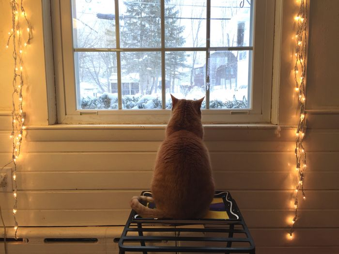 Cat Cats Pets Window Cozy Winter Snow Snow Day Snow Storm White Lights  Orange Tabby Orange Cat Cute Stuck Inside Softness Looking Christmas Lights Holidays Showcase: February Christmas White Cream Off White White Album Warmth someone is enjoying the snow day.