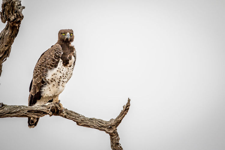Martial eagle sitting on a branch in the Kruger National Park, South Africa. Nature Animal Animals In The Wild Wildlife Wildlife & Nature Nature Photography Africa African Safari Safari Animals Safari Beauty In Nature Travel Beautiful Nature Wildlife Photography Animals Animal Themes African Bird Avian Eagle Martial Eagle Kruger Park Bird Of Prey Animal Wildlife Perching