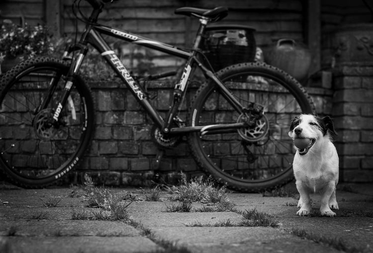 Portrait of dog on bicycle