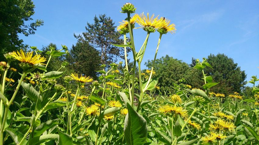 Flower bunga Flower Plant Low Angle View Blue Sky Beauty In Nature Yellow Flower