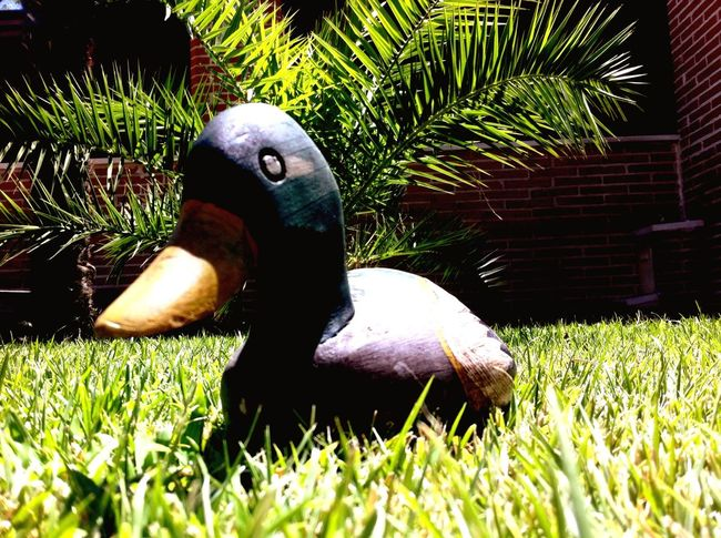 Duck Ducks Capturing Freedom