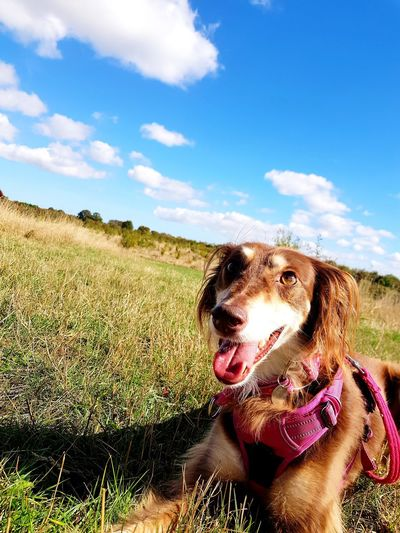 Pets Dog Protruding Sticking Out Tongue Field Sky Grass Cloud - Sky