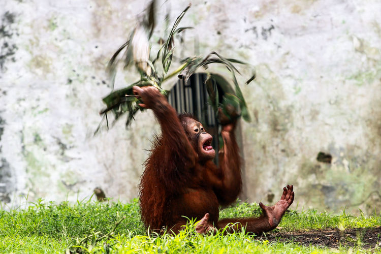 Orangutan on grass