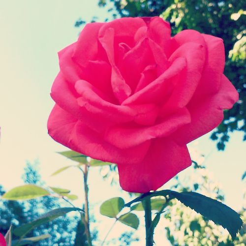Perfect rose😳😳💋👏 Flower Beauty In Nature Fragility Close-up Aesthetics With Him❤ Beautiful Love Vibrant Colors Single Rose Red Nature