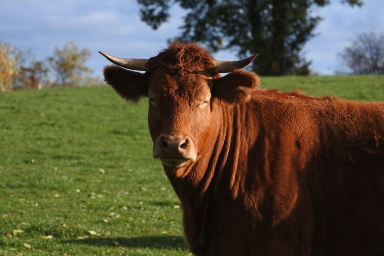 Happy new week, it's Mooday again... Portrait Looking At Camera Brown Grass Close-up Cattle Cow Domesticated Animal Tag