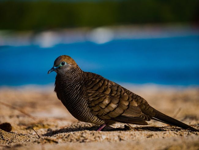 Bird One Animal Animals In The Wild Animal Themes Day Focus On Foreground No People Outdoors Close-up Animal Wildlife Nature Perching Mourning Dove Mauritius