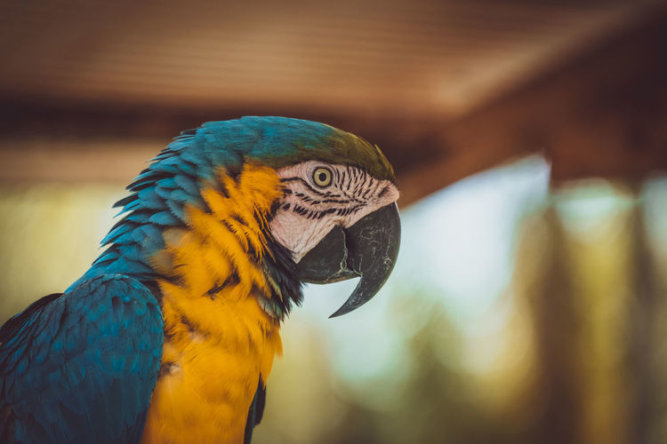 Blue macaw parrot from amazon