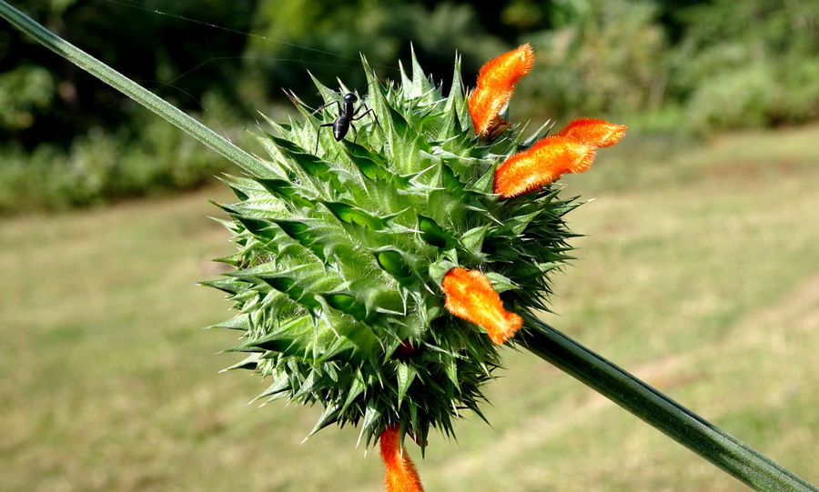 Green Lions ear flower with black ant on it Black Ant Honey Thorn Lion's Ear Beautiful Green Orange Flora Plant Growth Nature Outdoors No People Focus On Foreground Day Close-up Beauty In Nature Flower Tree Fragility Freshness Flower Head