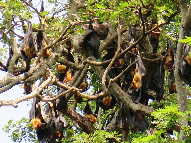 Tree Nature Growth Plant No People Outdoors Branch Leaf Day Beauty In Nature Bat Fruit Bats Fruit Bat