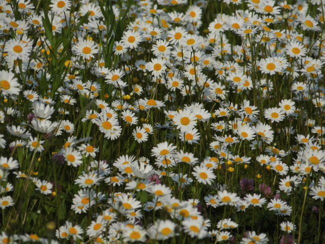 Abundance Backgrounds Beauty In Nature Blooming Botany Close-up Daisy Day Flower Flower Head Fragility Freshness Full Frame Growth In Bloom Marguerite Nature Nature's Diversities No People Outdoors Petal Plant Pollen White Color Yellow