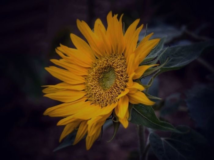EyeEm Gallery Fleurs Jaunes ForTheLoveOfPhotography EyeEm Nature Lover EyeEm Best Shots - Nature Imperfection Is Beauty Landscape_Collection Couleurs EyeEm Best Shots - Landscape EyeEm Best Shots - Nature Flowering Plant Flower Fragility Yellow Vulnerability  Freshness Flower Head Plant Beauty In Nature Petal Growth Inflorescence Close-up Nature Pollen Focus On Foreground Sunflower No People Outdoors Gazania