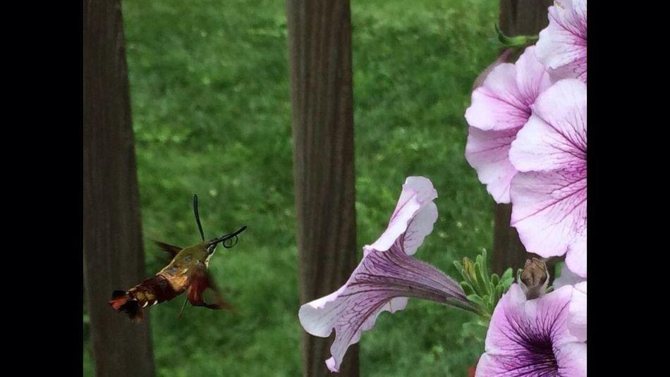 Beautiful Hummingbird moth ??
