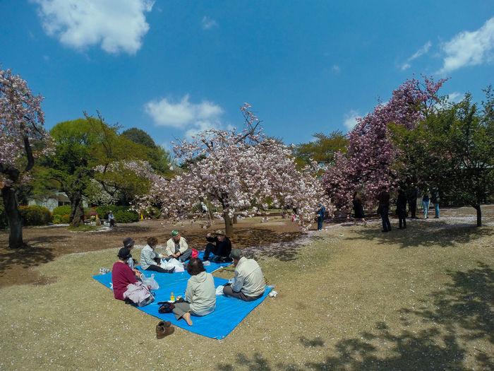 Park Sakura Picnic Relaxing