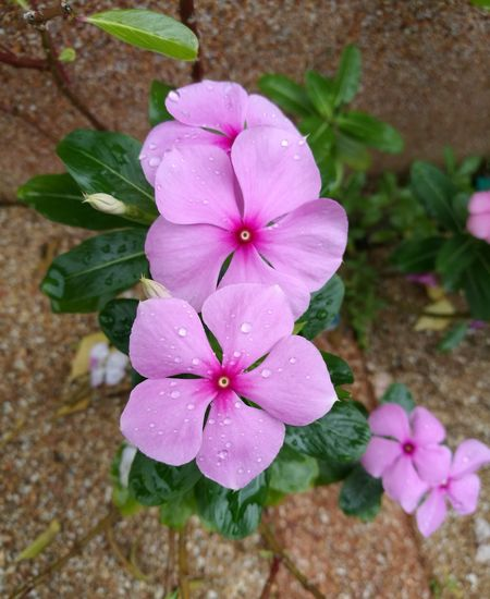 Flower Pink Color Plant Flower Head Beauty In Nature Nature Periwinkle No People Outdoors Day