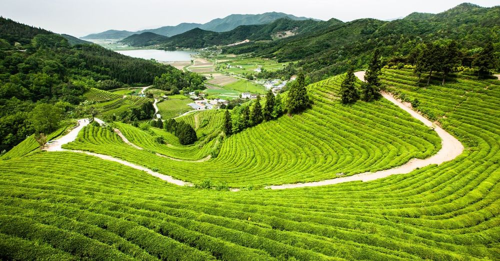 Landscape Agriculture Nature Beauty In Nature Green Color Green Tea Field Breathing Space