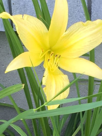 Beauty In Nature Close-up Day Day Lily Close-up Flower Flower Head Flowering Plant Fragility Freshness Green Color Growth Inflorescence Leaf Nature No People Outdoors Petal Plant Plant Part Softness Vulnerability  Yellow