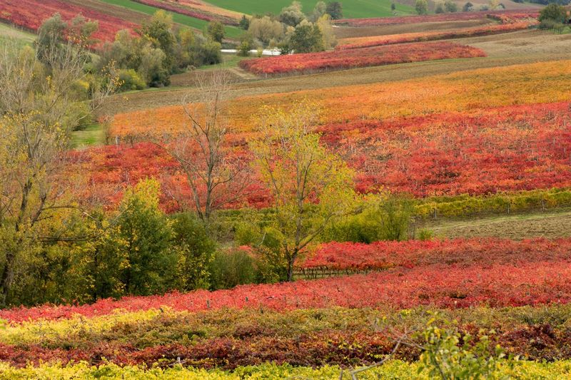Autumn colors Grapes Nature Photography Grapes, Vineyard, Wine, Winery, Soft, Autumn Mood Plant Autumn Growth Beauty In Nature Land Landscape Tranquility Tranquil Scene Change Tree Environment Scenics - Nature Field No People Day Orange Color Rural Scene Non-urban Scene Grass Autumn Mood