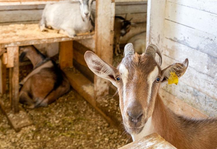 Sheep in a pen