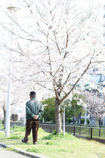 Full length rear view of man walking by cherry trees