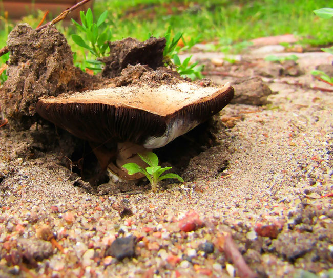 Mushroom Animal Animal Themes Animal Wildlife Animals In The Wild Close-up Day Dirt Field Ground Growth Land Leaf Nature No People One Animal Outdoors Plant Plant Part Selective Focus Solid Surface Level Toadstool
