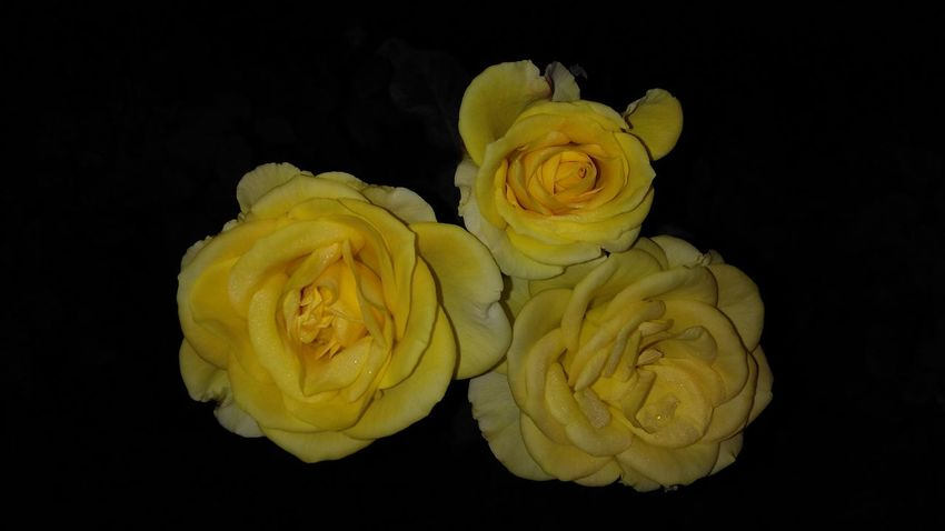 Yellow Black Background Fruit Close-up Roses🌹 Plant Growth Wet