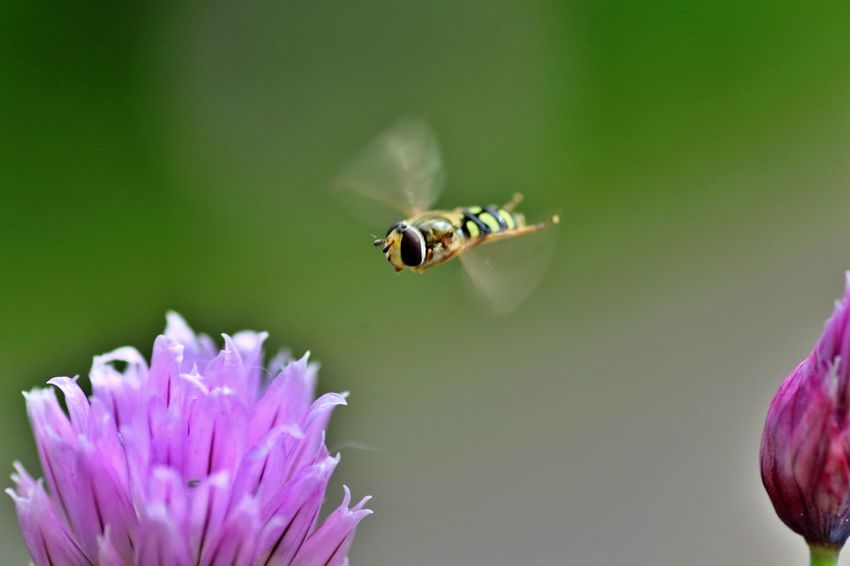 Insect Animal Wildlife Animal Themes Animals In The Wild Flower Animal Flowering Plant Close-up Petal Flower Head Bee Pollination No People Day Freshness Flying Bee