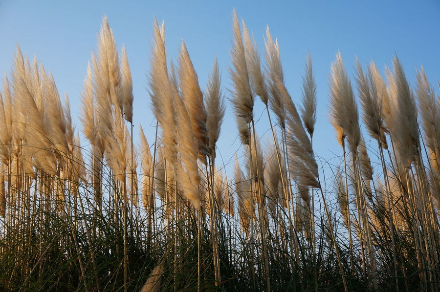 2014 Clear Sky Close-up Day Growth Hitachi Seaside Park Nature Sky Susuki すすき 国営ひたち海浜公園