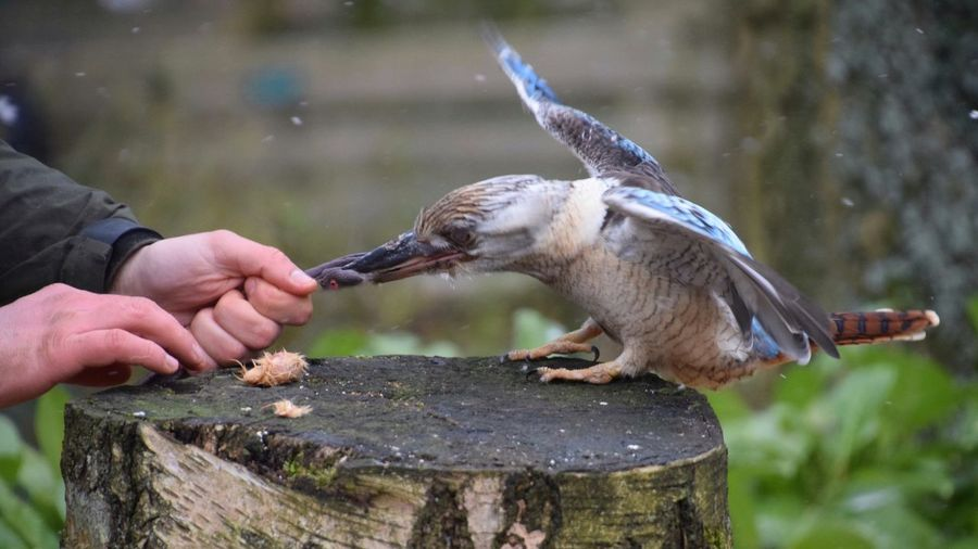 Resistance Movement Kookaburra Kingfisher Snow Human Hand Human Body Part Water Animal Wildlife Holding One Animal Animal Themes Feeding  Outdoors Food Bird Nature Eating