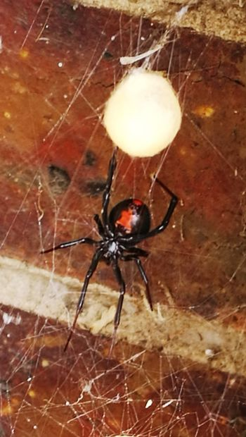Red Back Danger Spider Eggs Web Spider Web Spider Insect Survival Close-up