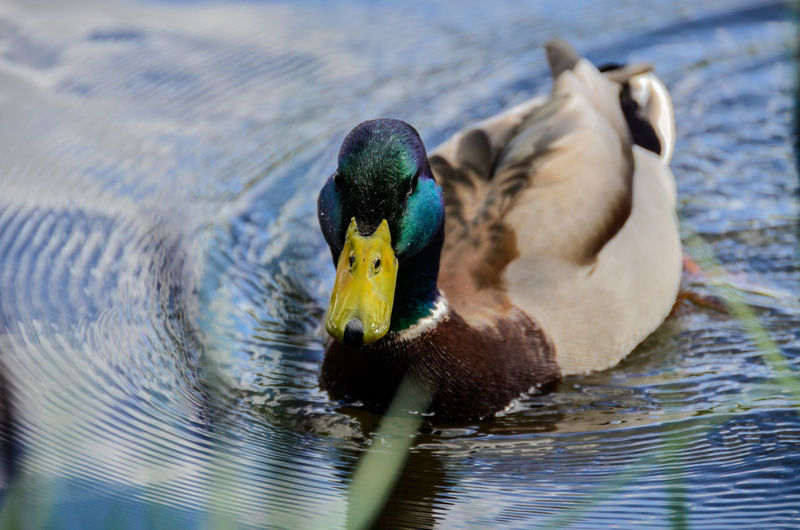 Close-Up Of Mallard Duck Swimming In Lake